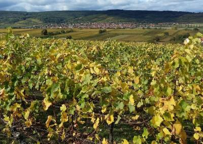 Paysage de vignes d'Alsace