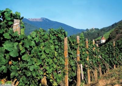 Route des vins et vue sur le Haut-Kœnigsbourg