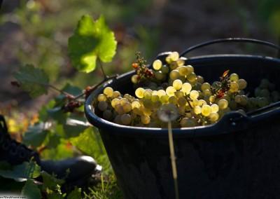 Route des vins - travail de la vigne