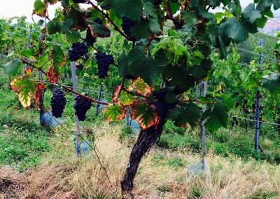 Ballade entre vignes - villages et vignobles