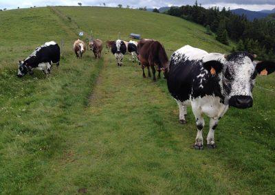 Les vaches de la Ferme-auberge du Buchwald